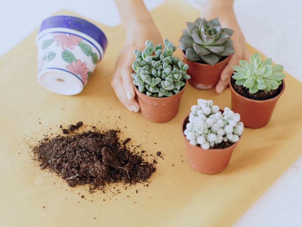 How to repot cacti and succulents world of succulents for How do you take care of succulents