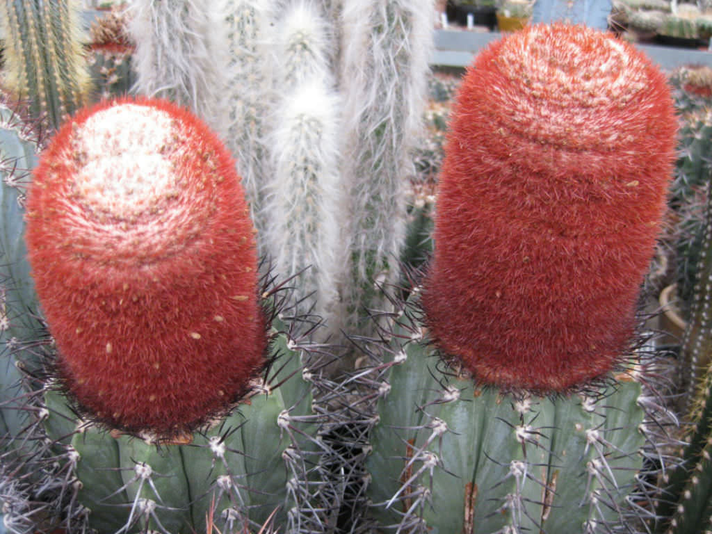 How to Grow and Care for Melocactus | World of Succulents