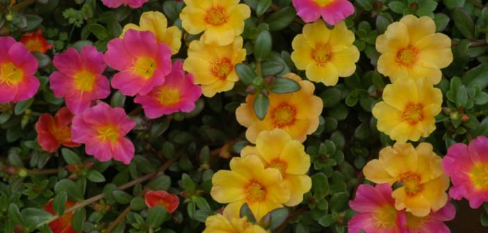 The Ultimate Guide To How To Grow Purslane Seeds