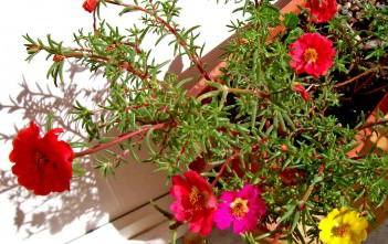 Portulaca grandiflora - Moss Rose Eleven O'Clock