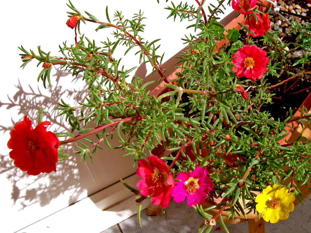 Portulaca grandiflora moss rose eleven o 39 clock world for Easy to care for outdoor flowering plants