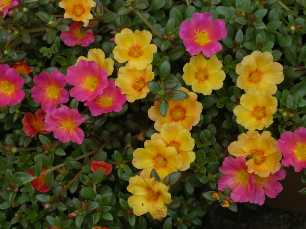 How to grow and care for portulaca world of succulents for Easy to care for outdoor flowering plants