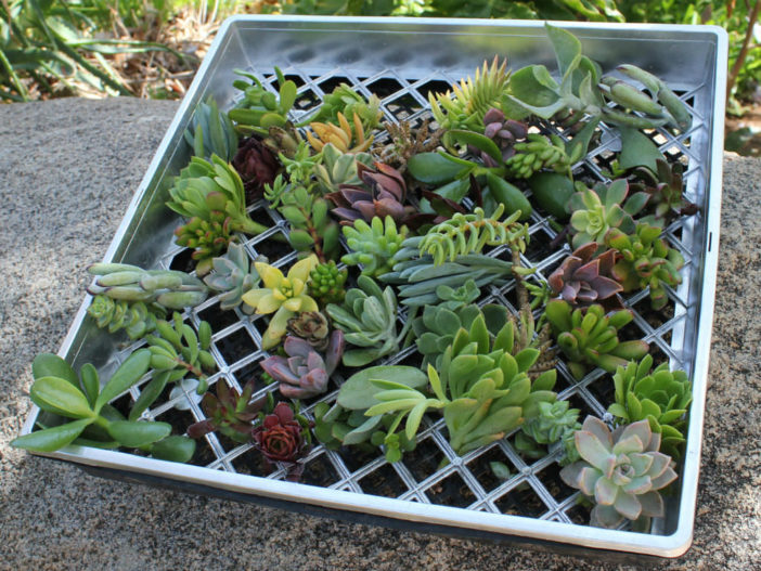 Propagating Succulent Plants