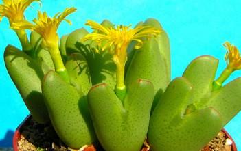 Conophytum bilobum - Living Pebble