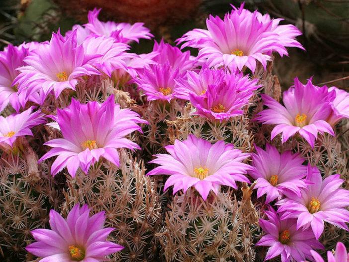 Escobaria minima - Nellie Cory Cactus Birdfoot Cactus