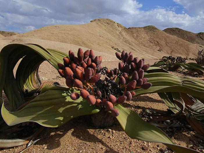 Welwitschia Facts (Welwitschia mirabilis)