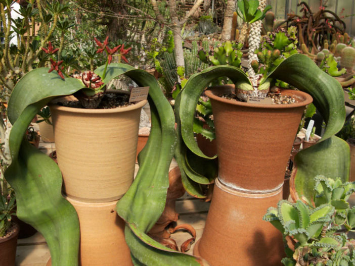 Grow and Care Welwitschia mirabilis