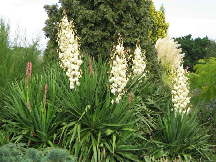 How To Grow And Care For Yucca World Of Succulents
