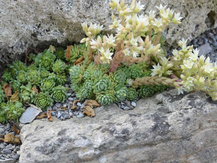 Grow and Care Rosularia (Rosularia rechingeri)