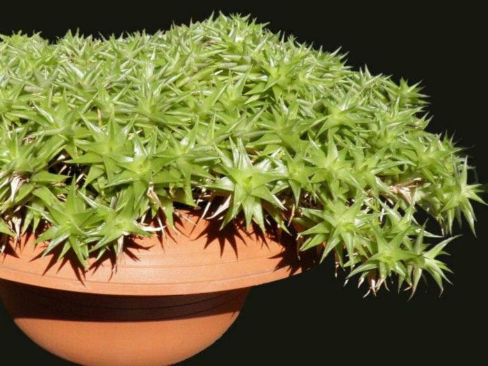 Grow and Care Deuterocohnia