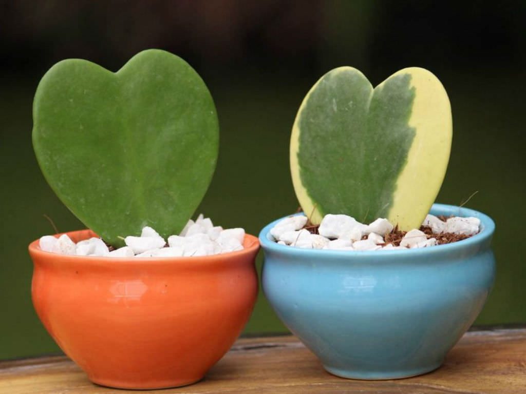 How To Grow And Care For Hoya World Of Succulents