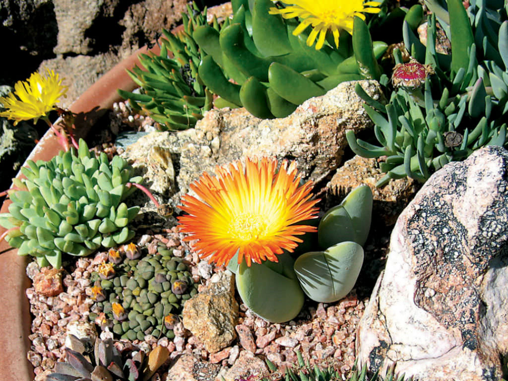 How to grow and care for mesembs world of succulents Can succulents grow outside