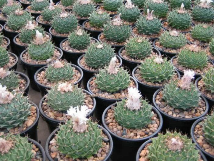 Obregonia denegrii - Artichoke Cactus
