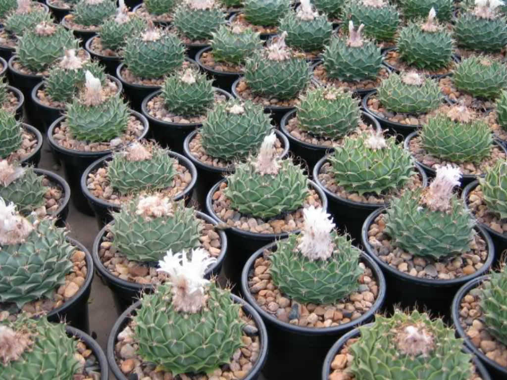 how to grow and care for an artichoke cactus obregonia denegrii world of succulents. Black Bedroom Furniture Sets. Home Design Ideas