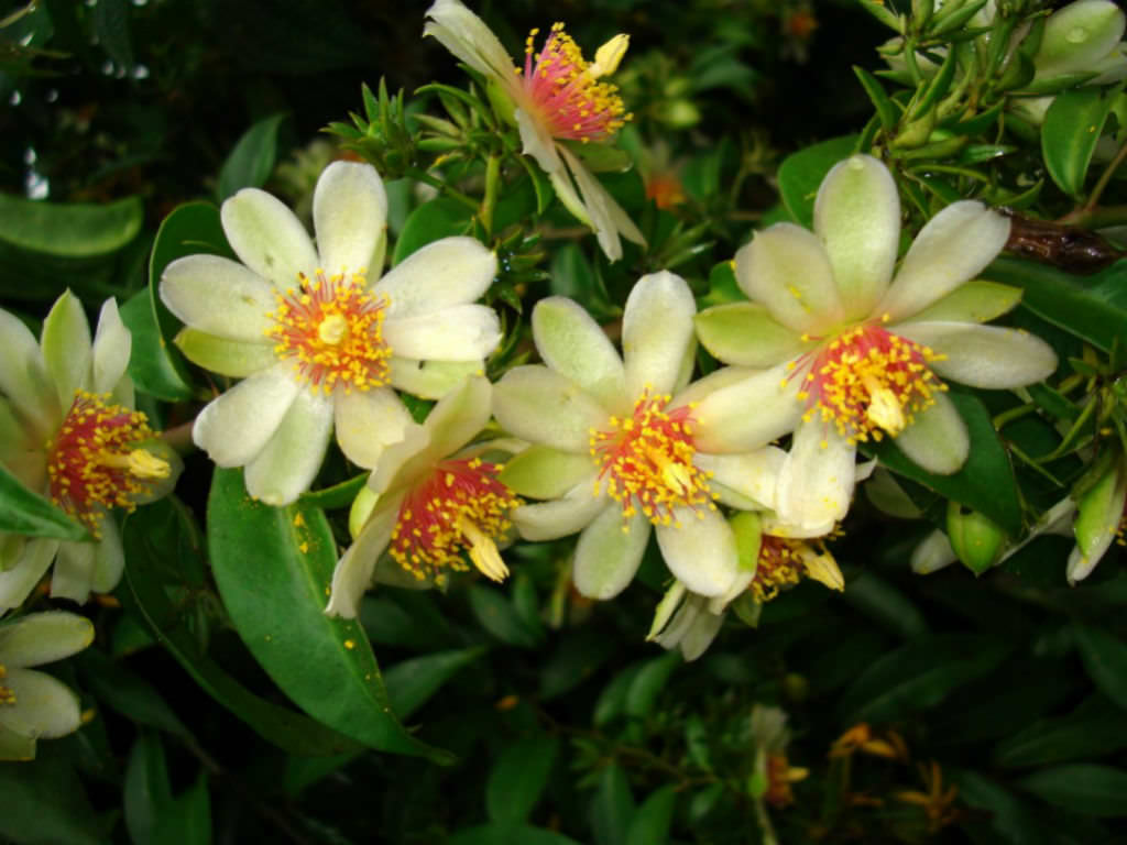 How to Grow and Care for Pereskia | World of Succulents
