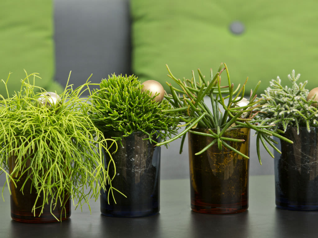 How to Grow and Care for Rhipsalis | World of Succulents Multiplying