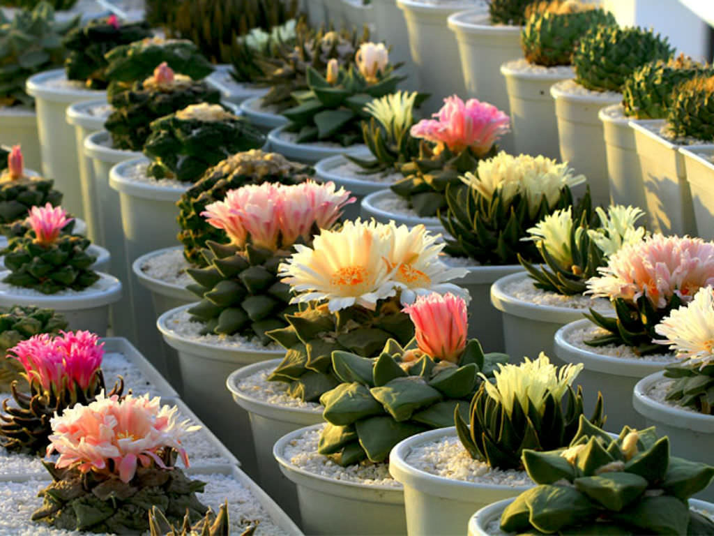 How to Grow and Care for Ariocarpus   World of Succulents