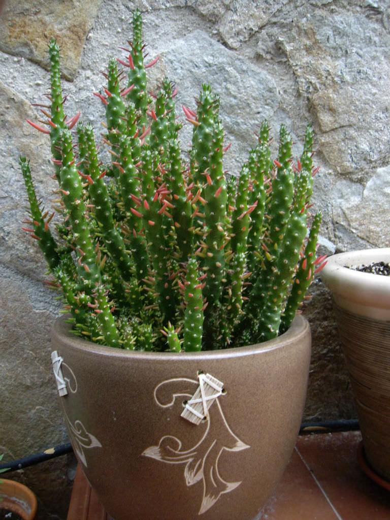 Christmas Cactus Pot