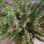 Austrocylindropuntia subulata f. monstrosa (Christmas Tree Cactus)