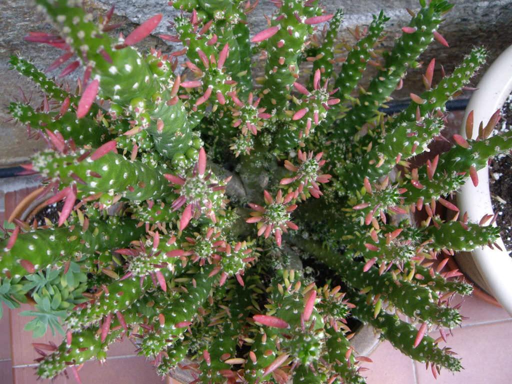 Austrocylindropuntia Subulata F Monstrosa World Of Succulents