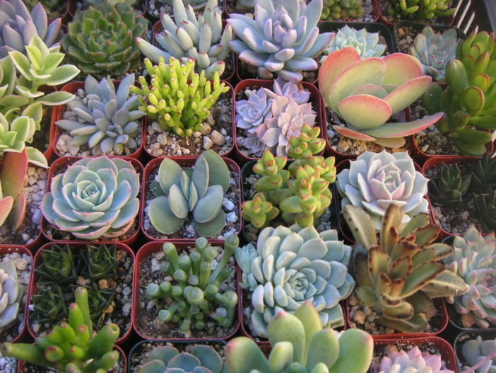 How to Fertilize Succulents