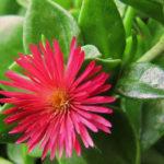 Aptenia 'Red Apple' (Baby Sun Rose)