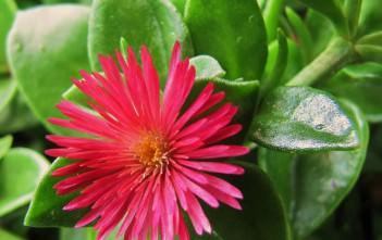 Aptenia 'Red Apple' - Baby Sun Rose