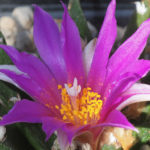 Ariocarpus agavioides - Tamaulipas Living Rock Cactus