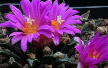 Ariocarpus agavoides (Tamaulipas Living Rock Cactus)