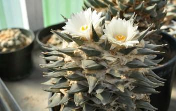 Ariocarpus retusus - Star Rock