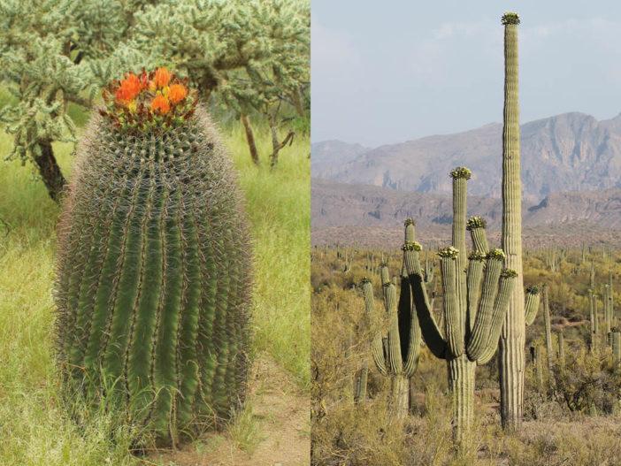 Difference Between Barrel Cactus and Saguaro Cactus