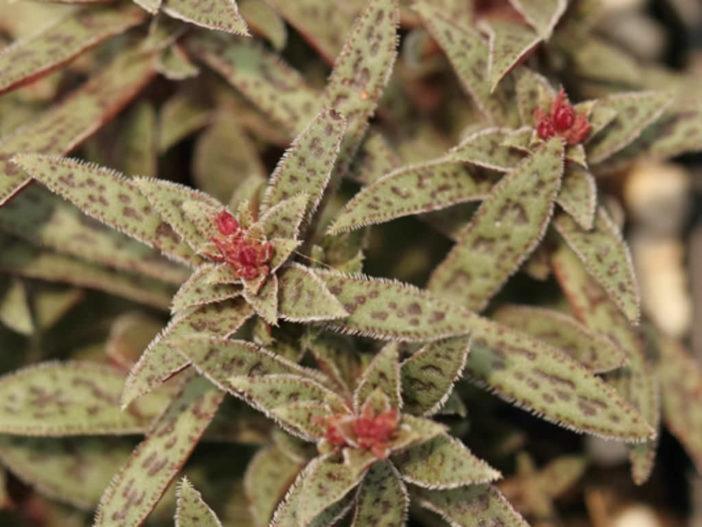 Crassula exilis subsp. picturata