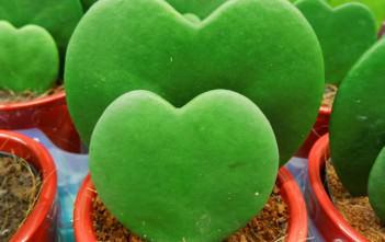Hoya kerrii - Sweetheart Hoya