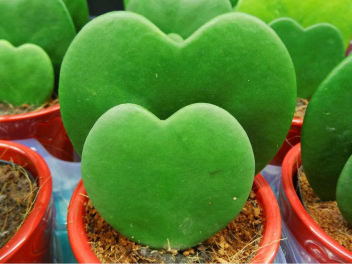 Hoya kerrii (Sweetheart Hoya)