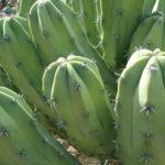 Myrtillocactus geometrizans (Bilberry Cactus)