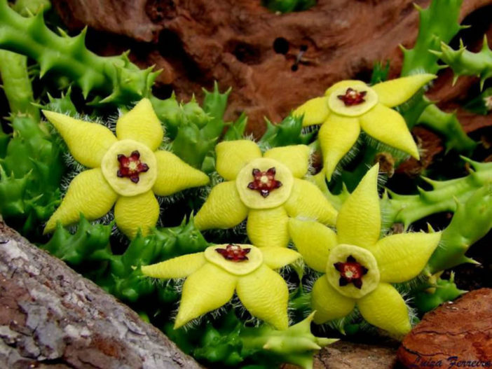 Orbea semota var. lutea (Yellow Orbea)