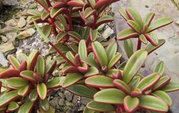 Peperomia graveolens (Ruby Glow Peperomia)
