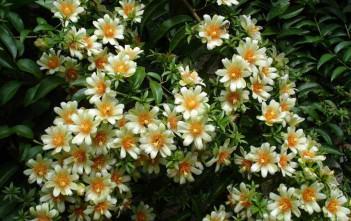 Pereskia aculeata - Barbados Gooseberry