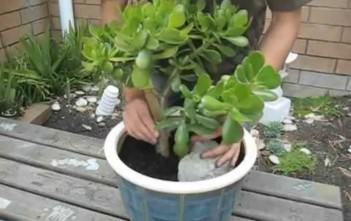 Repot Large Jade Plant