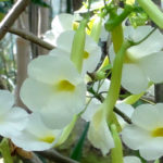 Uncarina leptocarpa