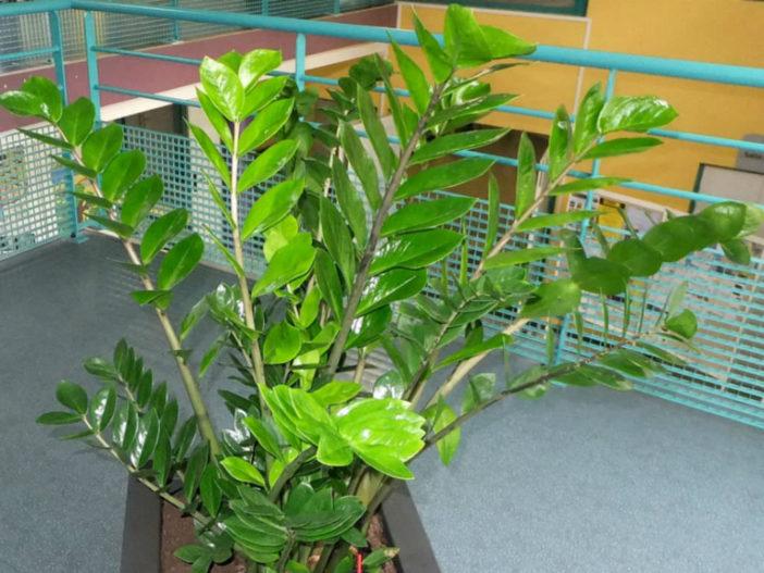 Zamioculcas zamiifolia - ZZ Plant