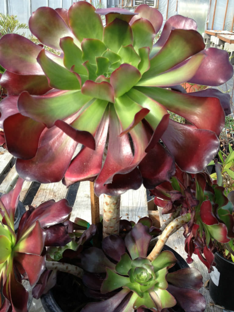 Aeonium Cyclops Giant Red Aeonium World Of Succulents