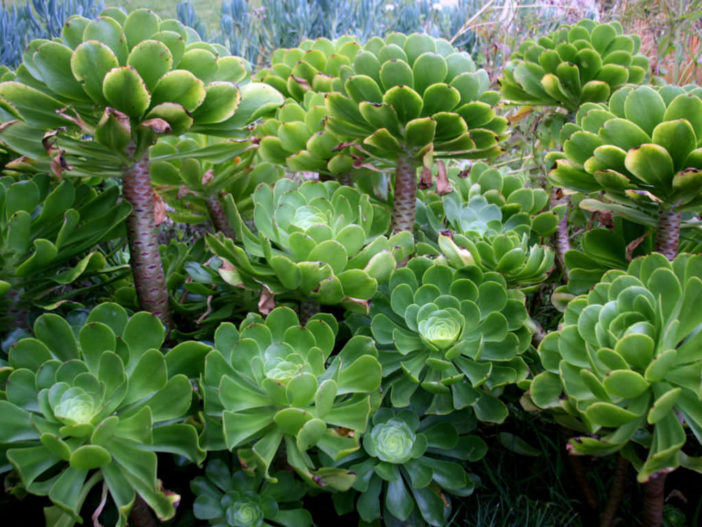Aeonium undulatum (Stalked Aeonium)