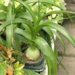 Albuca bracteata - Pregnant Onion