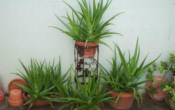 Aloe vera (Medicinal Aloe)