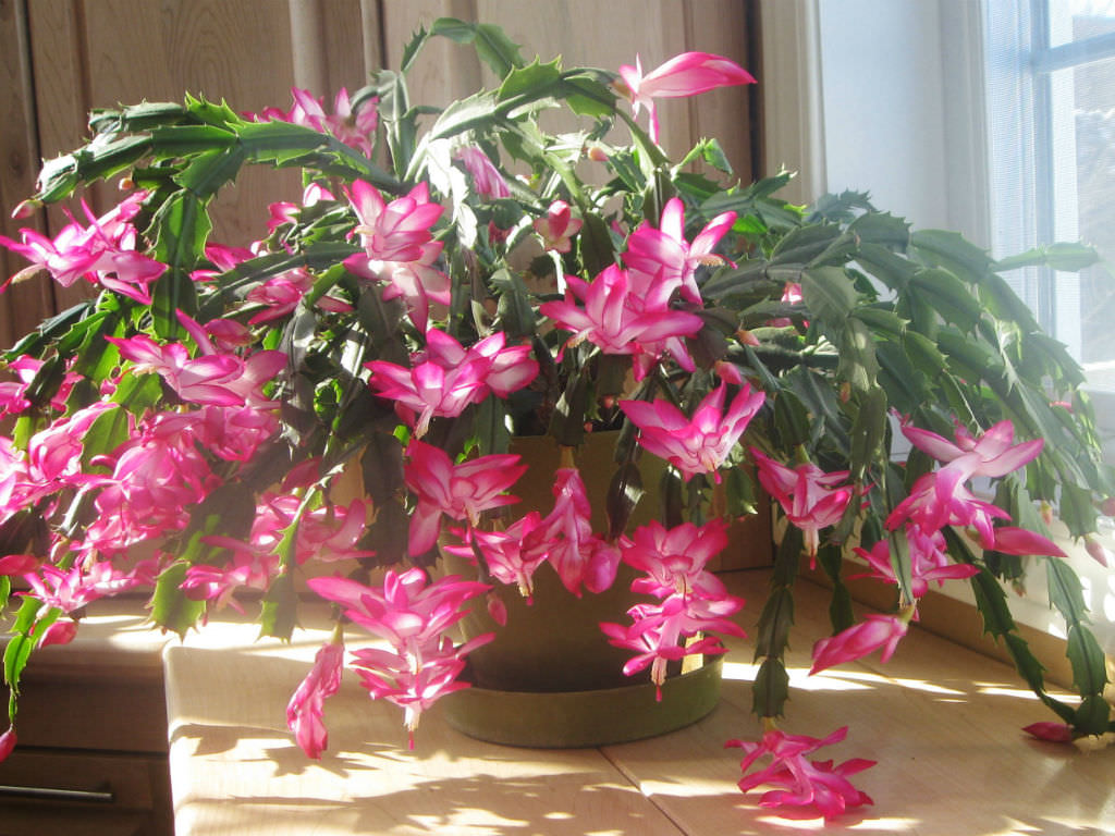 how to care for and make a christmas cactus bloom world of succulents. Black Bedroom Furniture Sets. Home Design Ideas