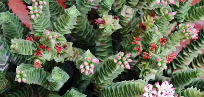 Crassula 'Green Pagoda'