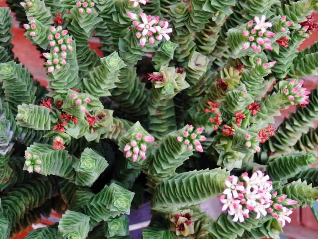 What is a pagoda plant?
