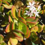 Crassula ovata 'Hummel's Sunset' - Golden Jade Tree