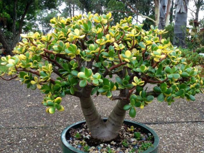 Crassula ovata 'Hummel's Sunset' (Golden Jade Tree)